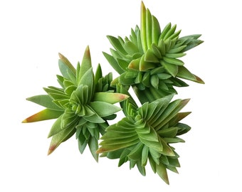 Succulent Crassula Capitella Red Pagoda Succulent Crassula Corymbulosa Trees Shark's Tooth Plants Rare Succulent Exotic Shape Plants Gift