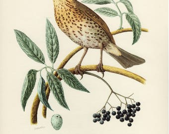 Vintage lithograph of the song thrush from 1953