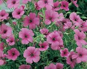 Viscaria Seeds Viscaria Oculata Rose 500 Seeds