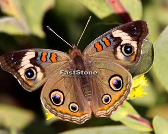 Buckeye butterfly, butterflies, insects, photography, wall art, home decor, print, photo, nature photography, free shipping, metal, wildlife