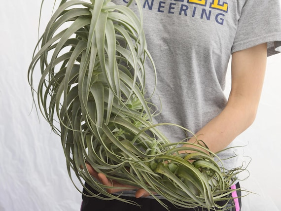 LARGE Air Plant Straminea Tall White, Hanging Air Plant, Rare Air Plants,  Succulent, Tropical Plants Hanging Plant, Indoor Plants Houseplant From ...