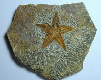 Starfish Fossil; Petraster sp.; Ordovician; Morocco