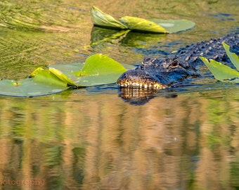 Alligator,Florida Everglades,Animal Wall Art Print,Office Decor,Wall Hanging,Bedroom Decor,Beach,Living Room Decor,Wall Art,Prints,Large Art