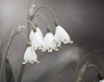 Nature photography spring snowflake flower bokeh fine art  gray home decor