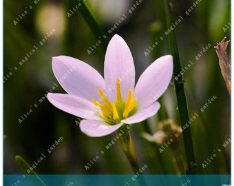 2 Bulbs Rare Zephyranthes Bulbs Rain Lily Rhizome Plant (Not Zephyranthes Seeds) -Variety 11