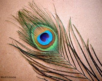 2 beautiful peacock feathers for creations