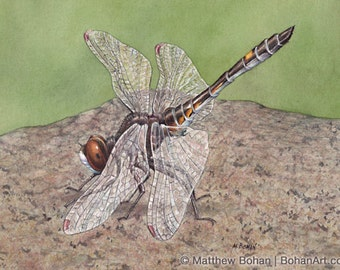 ORIGINAL Watercolor Painting of Dot-tailed Whiteface Dragonfly, Wall Art Home Decor, Nature, Wildlife Illustration, Small Art, FREE SHIPPING