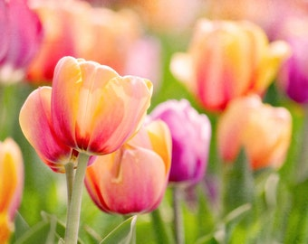 Bright Tulips Fine Art Photography Spring Colors Orange Pink Green Wall Decor