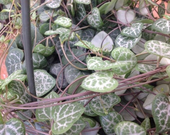 Ceropegia Woodii also know as String of Hearts a lovely vining plant that looks great in a hanging planter.
