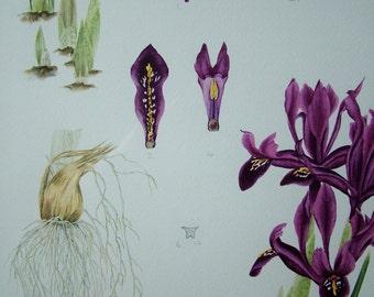 Botanical watercolour painting of Iris 'George'.