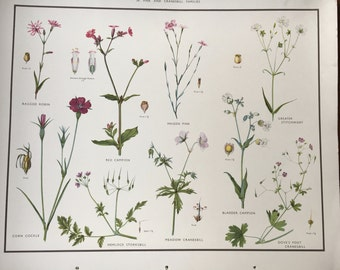 VINTAGE School Poster, Wall Chart, PINKS & CRANESBILL, Flora, Educational Print, Nature Study, Wildflowers Flowers