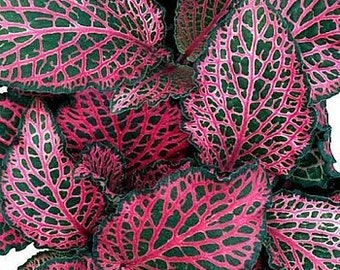 """Red Veined Nerve Plant - Fittonia  4"""" Pot (FREE SHIPPING)"""