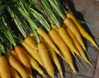 500+ Carrot Seeds- Jaune du Doubs- Heirloom