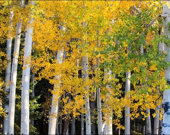 Yellow Aspen trees during fall colors and the changing of the leaves.  The colorful golden yellow foliage Aspen landscape full of color.