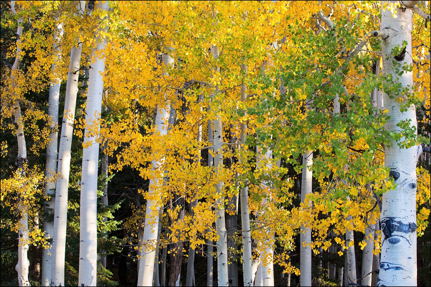 Yellow Aspen trees during fall colors and the changing of the