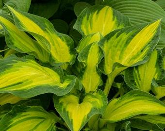 HOSTA 'HAPPY DAYZ'.  Perennial.  Plant.