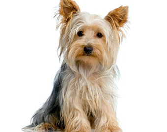 Yorkshire Terrier (YORKIE) Dog Sitting. Quilting Squares. TWELVE Identical 6 inch Fabric Squares for Quilting and Sewing. White background.