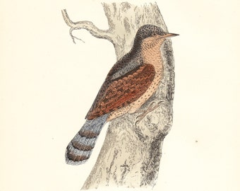 Vintage Wryneck (Cuckoo's Maid) Plate .  Antique Bird Print . original old woodblock art dated 1893