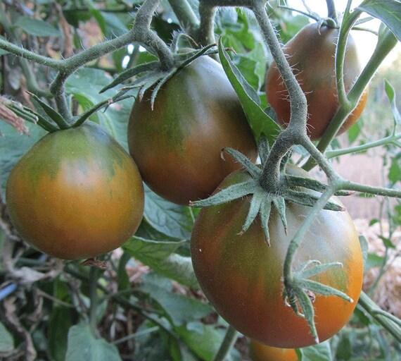 Tomato: Japanese Black Trifele