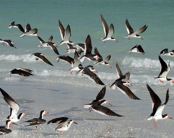 Black Skimmer Birds Beach Photography Florida West Coast Green wall decor