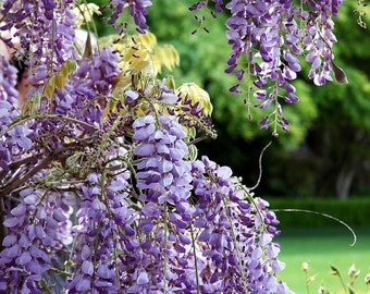 Wisteria -  fine art nature photography -  Blooming, Purple Wisteria  in a beautiful green garden. 5x7