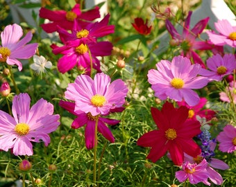 Garden Cosmos Wildflower Packet