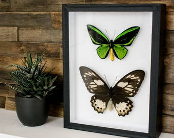Real framed butterflies: Ornithoptera priamus male & female // RARE