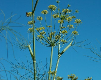 Fennel Seeds, medicinal herb seeds, culinary herb seeds, herb garden seeds, herb garden kit