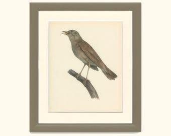 Nightingale, Vintage Bird Print, Ornithology, Natural History. DEM/1959/119, Country Cottage Decor, Rustic Cabin Decor, 8 x 10