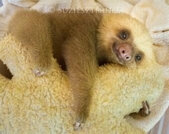 50% OFF SALE, Baby Sloth Photo, Nursery Art Print, Baby Animal Photograph, Kids Room Art, Baby Nursery Wall Art, Animal nursey, Baby Shower