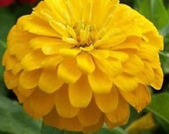 Zinnia Yoga Yellow Flower Seeds / Annual 50+