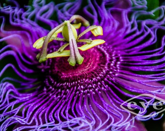 Purple Passion Flower Fine Art Print - Nature, Botanical, Wildlife, Garden, Nursery Decor, Home Decor, Baby, Zen, Gift