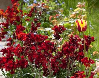 Wallflower Blood Red 50 Seeds (Erysimum cheiri)