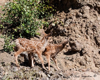 What are these fawns thinking, Wildlife Photography