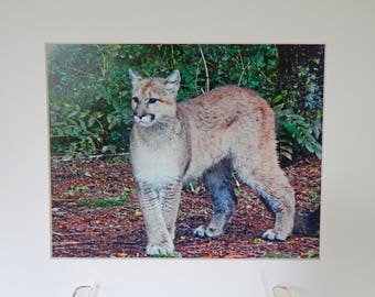 Nature Photography Matted 8x10 Cougar