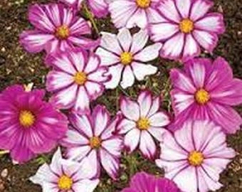 Cosmos- Candy Striped- 100 Seeds