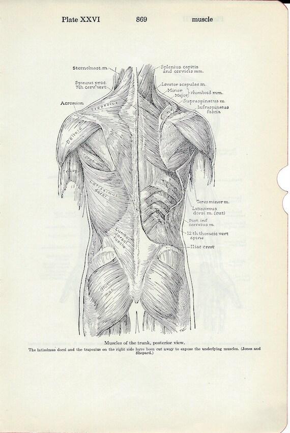 Fein Trunk Human Anatomy Zeitgenössisch - Menschliche Anatomie ...