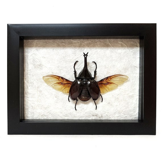 Framed real rhino beetle with spread wings insects bugs on