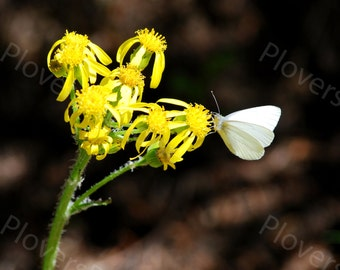 White Butterfly on Flower Photograph // Butterfly Print // Yellow Flower Picture