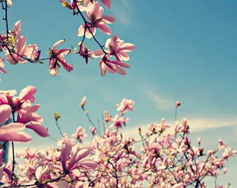 Mothers Day women romantic spring flowers magnolia tree blooms blossoms light pink blue aqua sky - Fine Art Photography