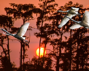 Three Egrets against sunset and cypress trees