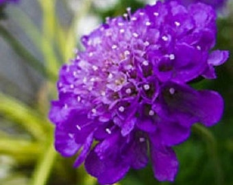 25+ Dark Purple Pincushion Scabiosa / Perennial Flower Seeds