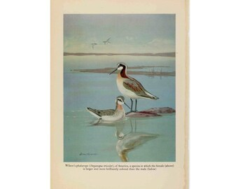 1934 WILSONS PHALAROPE BIRDS original vintage animal print - steganopus tricolor