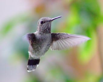 Hummingbird Still