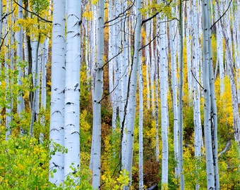 Aspen trees fall photo, Colorado aspen wall art, fall trees photo, log cabin decor, fine art photography, rustic wall art, fall art   Uphill
