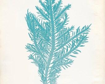 Vintage Ocean Kelp Seaweed Print 8x10 P201