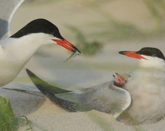 Framed Common Tern family
