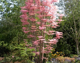 200  Seeds Toona sinensis, Chinese Toon. Red Toon Seeds.Chinese mahogany,