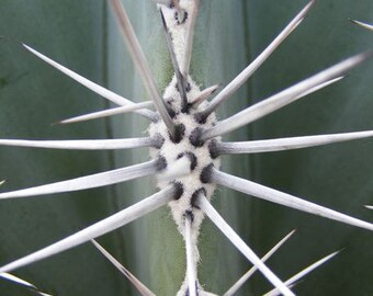 Spears - Abstract Nature Photography - Macro of Cactus Needles - 4x6, 5x7, 8x10, 11x14, 16x20