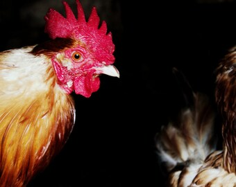 Bird Print - Rooster Fine Art Photograph - Irish Country Farmyard Art - Chicken Photography - Rural Decor